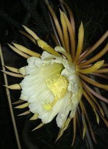 Selenicereus hondurensis - 1