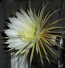 Selenicereus grandiflorus (Královna noci) - 1