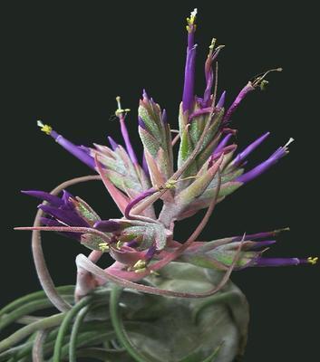 Tillandsia seleriana (velká) - 1