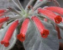 Sinningia leucotricha - 1