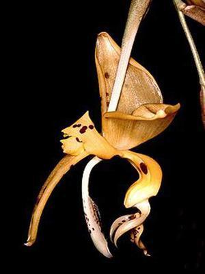 Stanhopea jenischiana - 1