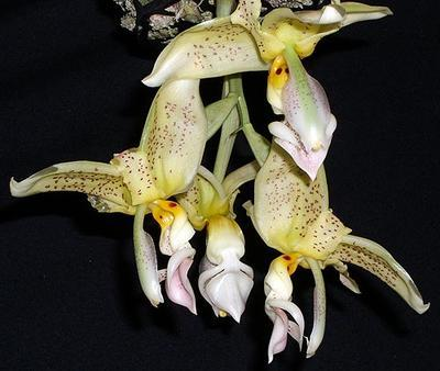 Stanhopea wardii - 1