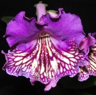 Streptocarpus 'Monarch's Journey'