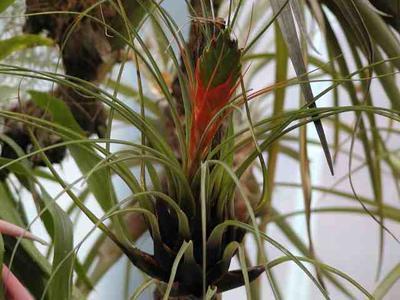 Tillandsia punctulata (střední rostlina) - 1