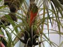 Tillandsia punctulata (střední rostlina) - 1/4