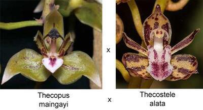 Thecopus maingayi x Thecostele alata - 1