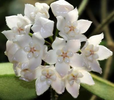 Hoya thompsonii - 1