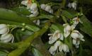 Thrixpermum pensile - 1/3
