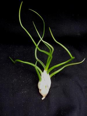 Tillandsia bulbosa - 1