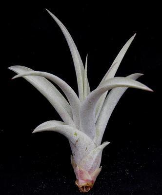 Tillandsia capitata (střední) - 1