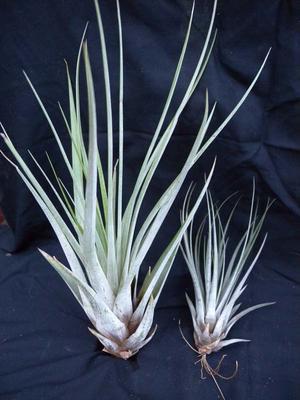 Tillandsia fasciculata (malá)