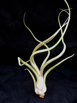 Tillandsia pseudobaileyi - 1