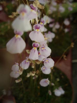 Utricularia blanchetii (bublinatka) - 1