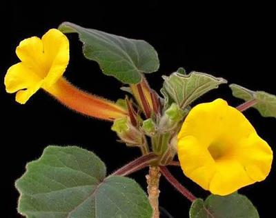 Uncarina roeoesliana - 1