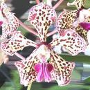 Vanda tricolor v. suavis - 1/2