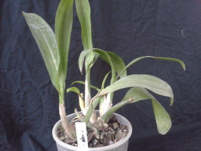 Liparis viridiflora - 2