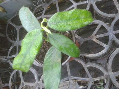 Hoya globulosa - 2