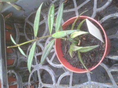 Hoya pauciflora - 2