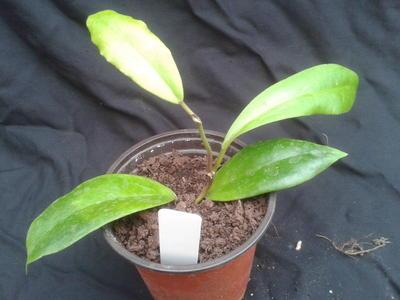 Hoya mindorensis - 2