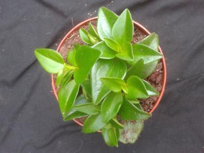 Peperomia periskiifolia - 2