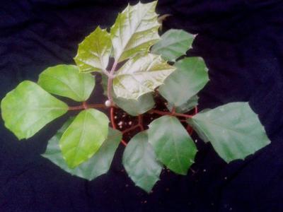 Cissus rhombifolia - 2