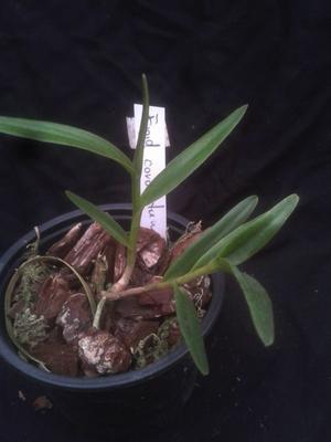 Epidendrum coronatum - 2