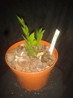 Dendrobium acinaciforme - 2