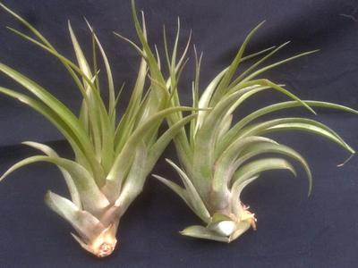 Tillandsia brachycaulos v. abdita (velká) - 2