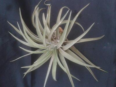 Tillandsia brachycaulos v. multiflora (velká) - 2