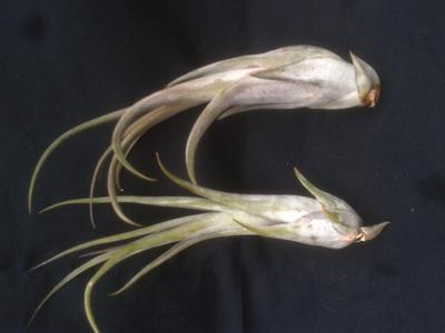 Tillandsia circinnata - 2