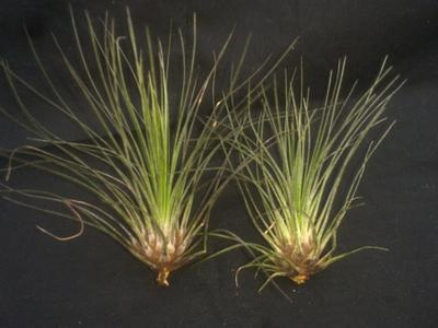 Tillandsia filifolia - 2