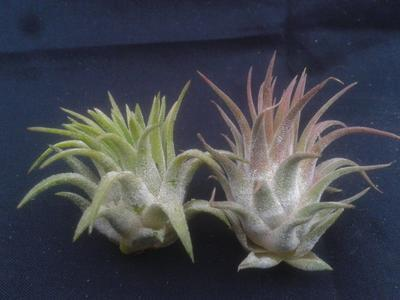 Tillandsia ionantha v. rubra - 2