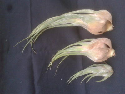 Tillandsia seleriana (střední) - 2