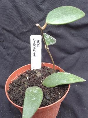 Hoya micrantha - 2
