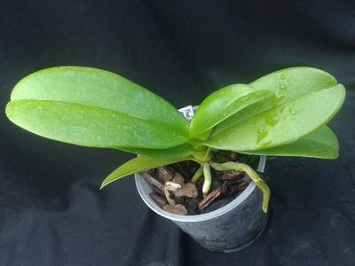 Phalaenopsis equestris var. albescens - 2