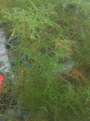 Pelargonium denticulatum - 2