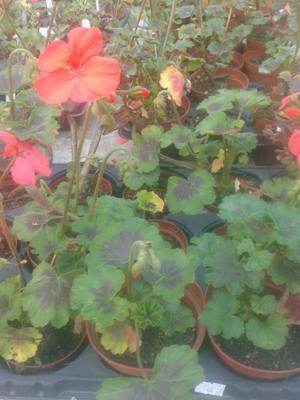 Pelargonium inquinans - stromový muškát - 2