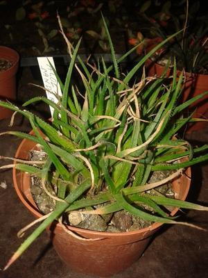 Aloe sanderae - 2