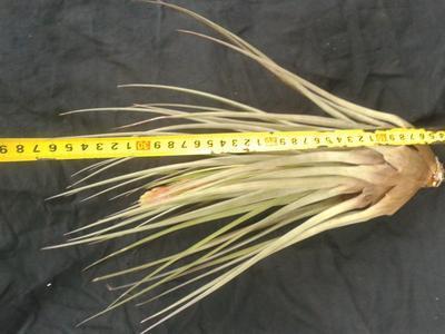 Tillandsia fasciculata var. densispica - 2