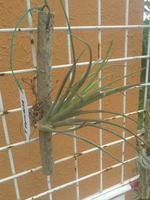 Tillandsia rectifolia - 2