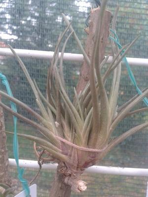 Tillandsia albertiana (menší) - 2