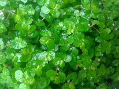Soleirolia soleirolii (zelená) - 2