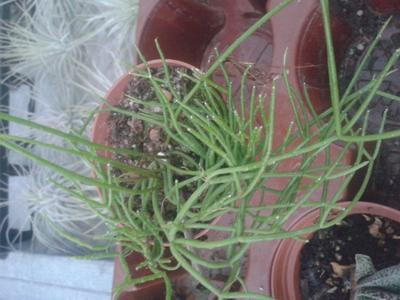 Rhipsalis cassutha - 2