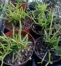 Rhipsalis teres - 2/2