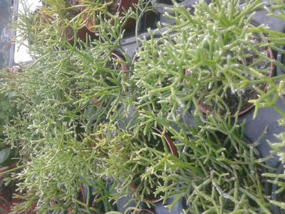 Rhipsalis cereuscula - 2