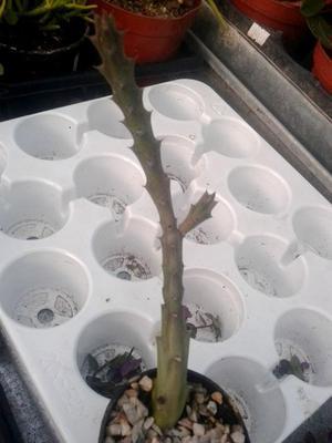 Orbea variegata - 2