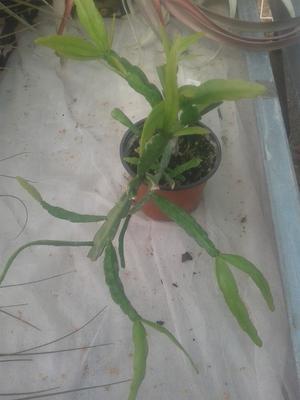 Rhipsalis micrantha - 2