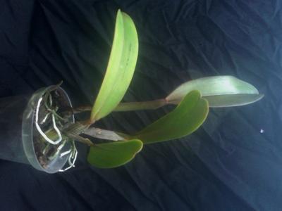 Cattleya jenmannii - 2
