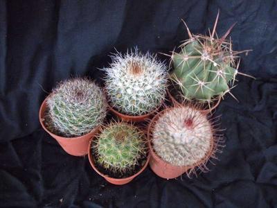 sada 5 různých kaktusů - 2