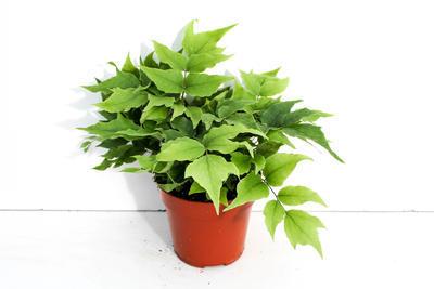 Cyrtomium fortunei 'Clivicola' (kapradina) - 2